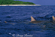 dorsal fins of gray reef sharks, Carcharhinus amblyrhynchos, break the surface, Bikini Atoll, Marshall Islands, Micronesia ( Central Pacific Ocean )