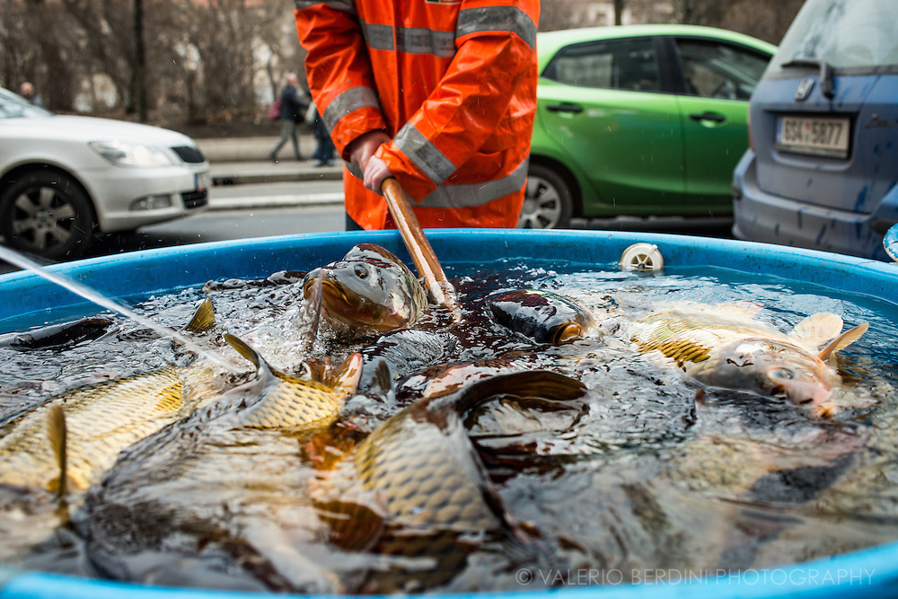 A multitude of carp swimming in a water tub in a street in Prague. A fishmonger uses a large landing net to catch a fish.