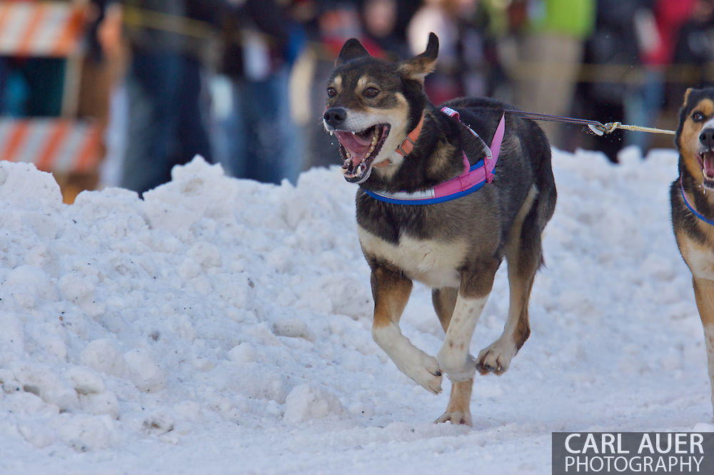 March 7th, 2009:  Anchorage, Alaska: A lead dog of 5 Time Iditarod Champ Rick Swenson of Two Rivers, Alaska at the start of the 2009 race.
