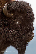Portrait of a bison bull in the rain at the National Bison Range, near Moiese, Montana, USA