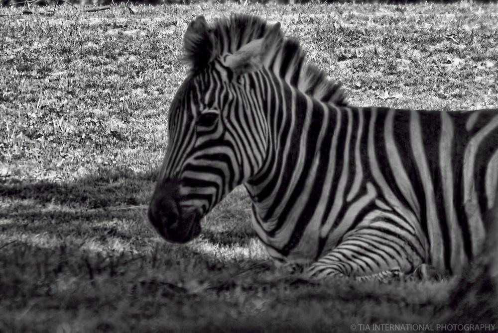 Zebra / Woodland Park Zoo, Seattle