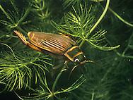 Great Diving Beetle - female - Dytiscus marginalis