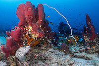 Blackspotted Moray Eel peeks out from under a colorful Sponge colony<br /> <br /> Shot in Indonesia