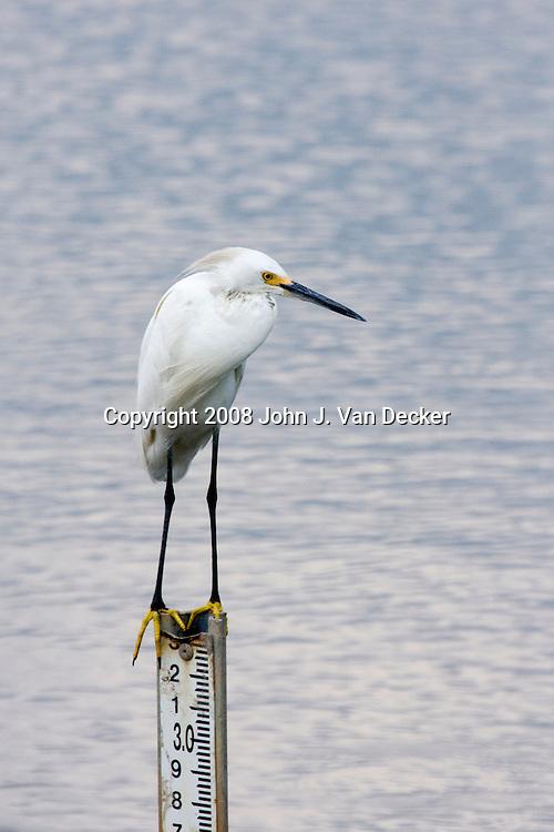 Snowy Egret, Egretta thula, sitting on tide marker - measuring up