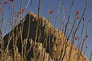 Open range for cattle and ocotillo at Elephant Head, Coronado National Forest, Sonoran Desert, Santa Rita Mountains, Green Valley, Arizona, USA.