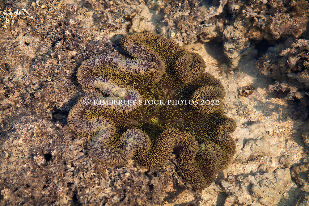 A colourful anemone on a shallow sandbank at the northern end of Augustus Island.