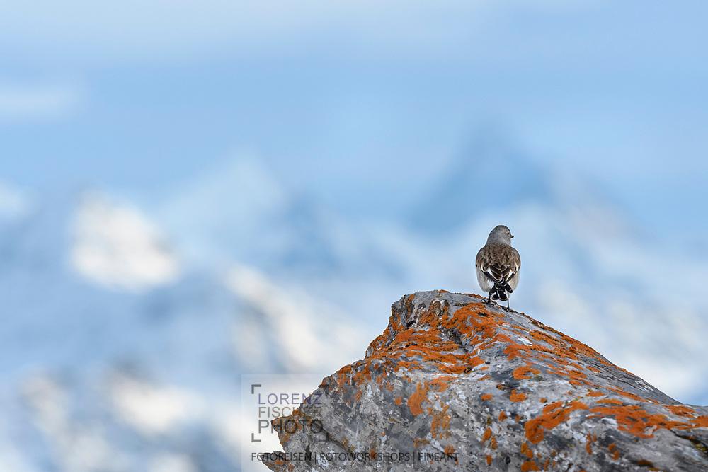 White-winged snowfinch (Montifringilla nivalis), or just snowfinch on a rock with lichen, Leukerbad, Valais, Switzerland