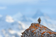 White-winged snowfinch (Montifringilla nivalis), or just snowfinch on a rock with lichen, Leukerbad, Valais, Switzerland