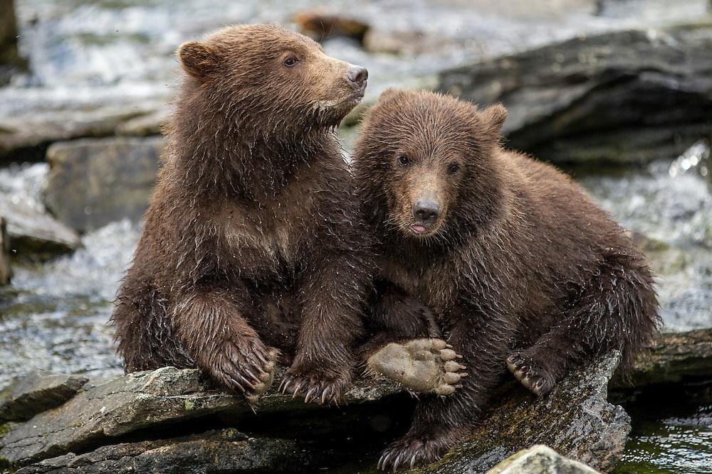 USA, Alaska, Katmai National Park, Coastal Brown Bear Spring Cubs (Ursus arctos) sitting on stones along salmon spawning stream by Kuliak Bay