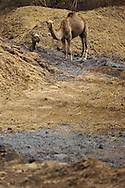 dromedary camel, Arabian camel, Camelus dromedarius, dromadaire