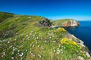 Wildflowers above Scorpion Cove, Santa Cruz Island, Channel Islands National Park, California USA