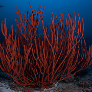 Red coral formation at 40 metres depth, with silhouette of lone grey reef shark patrolling in the background