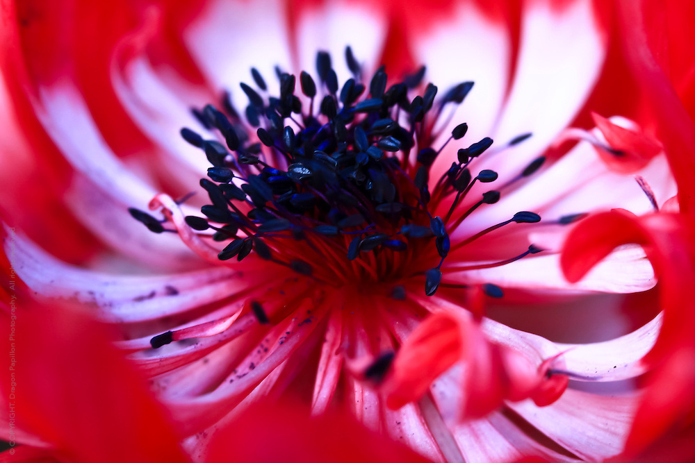 red and white flower with black stamens.  macro photo with focus on the centre stamens