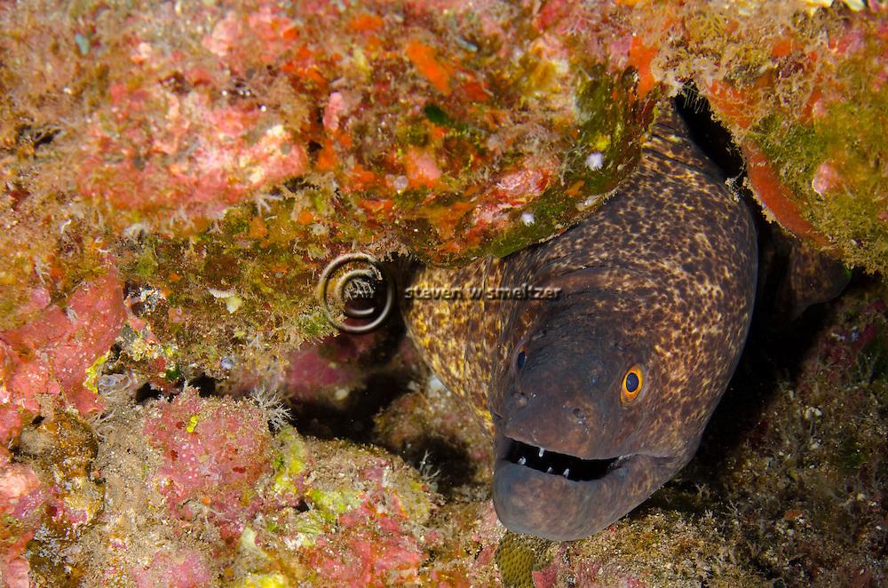Yellow Margin Eel, Maui Hawaii
