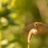 Dragonfly on bent grass