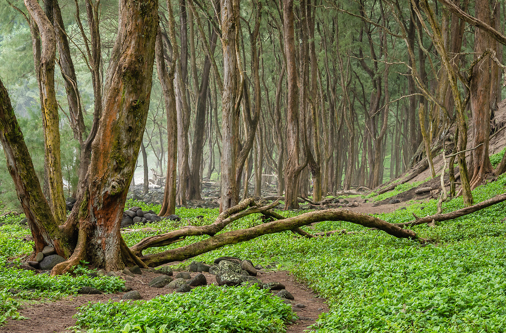 Forest of Ironwood Trees at Pololu Valley on the Hamakua Coast of the Big Island in Hawaii. Winter. Afternoon.