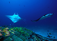 Mantas (Manta birostis)  cleaning station