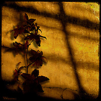 A blood-red orchid against a cracked, golden stucco wall catches the setting sun.