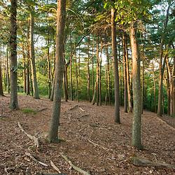 A pine-oak forest in Dighton, Massachusetts.
