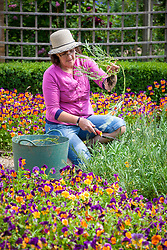 Removing spring bedding (wallflowers) after they have finished flowering.