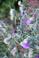 Cirsium vulgare, Plantae, Angiosperms,  Asterids, Asteraceae, Carduoideae, Cynareae, Cirsium, vulgare, spear thistle, thistle, Scottish thistle, Scotch thistle, common thistle, dicot, Asteraceae, Biennial, Forb, herb,  ruderal, invasive, non-native, flower, flowers, blossoms, bloom, blooms, blossom, bud, wildflower, wildflowers, botany, nature, natural, beauty, beautiful, color, green, beauty, plant, beautiful, blooming, summer, flora, wild, plants, fresh, color, plant, botany, native, wildflowers, wildflower, West Coast, bull thistle, green, pink