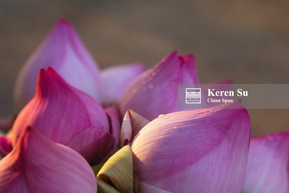 Lotus flower bud, Thailand