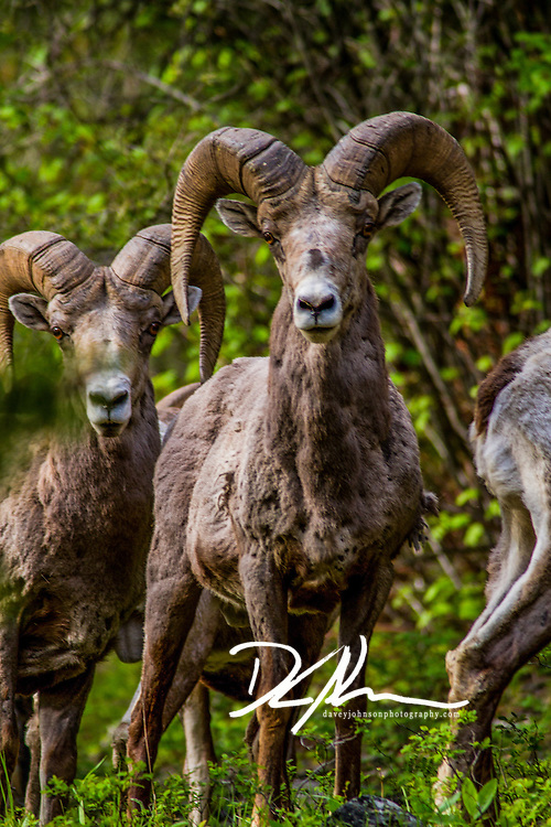 Big Horn Sheep wandering the woods