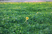 lone sunflower in a field of green foliage