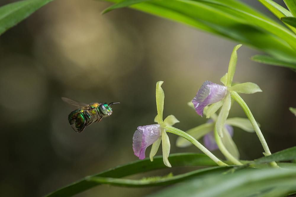 An orchid bee (Euglossa sp.) visits an orchid in the cloud forests of the Chocó region of Northwestern Ecuador. March.