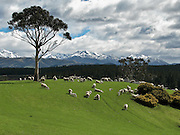 grazing sheep in Southland, New Zealand