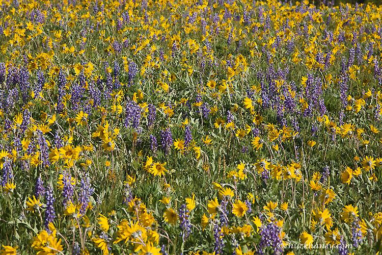 Vast field of lupine and arrowleaf balsomroot wildflowers in the Bighorn Mountains of Wyoming