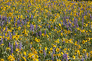 Vast field of lupine and arrowleaf balsomroot wildflowers in the Bighorn Mountains of Wyoming