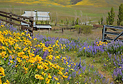 WA13086-00...WASHINGTON - Balsamroot and lupine covered meadow at Dalles Mountain Ranch in Columbia Hills State Park.