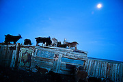 Goats on the roof in central Mongolia.