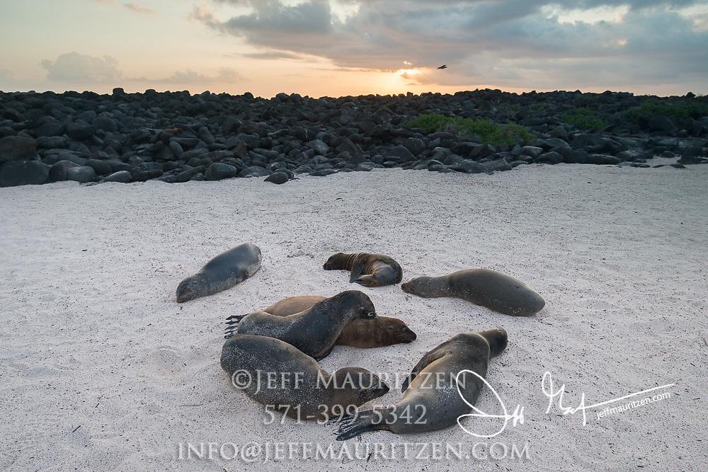 Galapagos sea lions rest on a sandy beach at sunset on Espanola island, Galapagos islands, Ecuador.