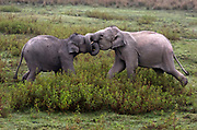 Young Indian elephants fighting. Kaziranga NP, Assam, India.