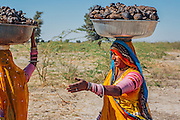 Ethnic Rajasthani women wearing traditional bright clothes carry a tub full of camel dung on their head.