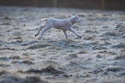 © Licensed to London News Pictures. 23/03/2020. Guyzance, UK. A lamb playing at sunrise on a frosty morning on farmland near the hamlet of Guyzance in Northumberland, northern England. Photo credit: Ben Cawthra/LNP