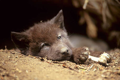 Gray Wolf, (Canis lupus) Pup resting at den entrance.  Montana. Spring. Captive Animal.