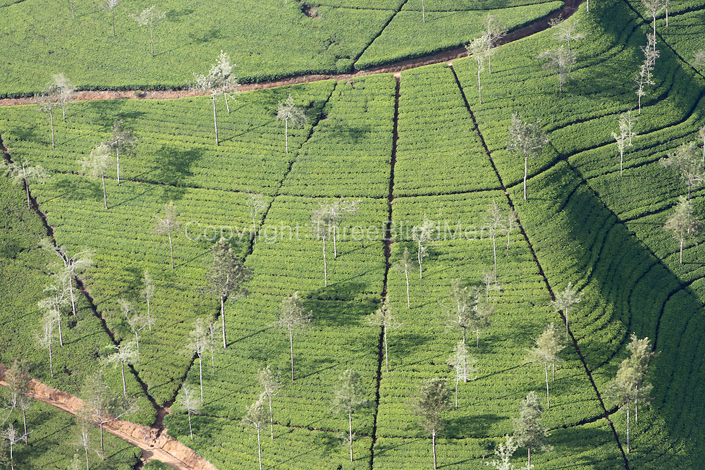 Sri Lanka. Tea estate.<br /> Camellia sinensis
