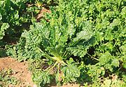Sugar beet plants, Beta vulgaris, growing in field, Sutton, Suffolk, England, UK