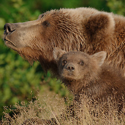 Bears on the Alaska Peninsula, Alaska