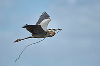 Great Blue Heron Ardea herodias bringing a stick to nesting mate Arthur R Marshall National Wildlife Reserve Loxahatchee Florida