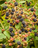 A cluster of wild blackberries hang from a bush.