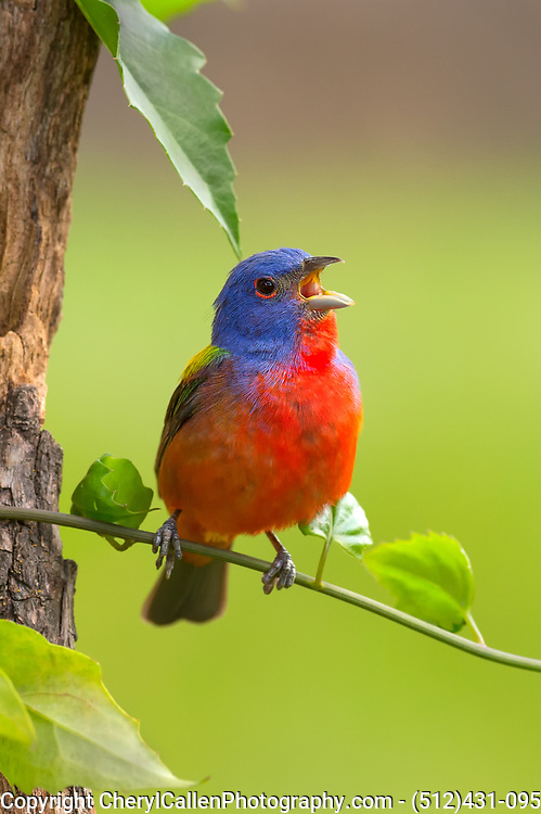 Male Painted Bunting singing