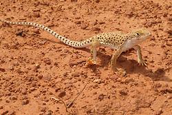 North America, Arizona, Four Corners, Monument Valley Tribal Park, Desert Night Lizard (Xantusia vigilis)