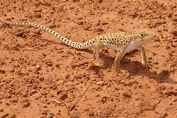 North America, Arizona, Four Corners, Monument Valley Tribal Park, Desert Night Lizard (Xantusia vigilis)