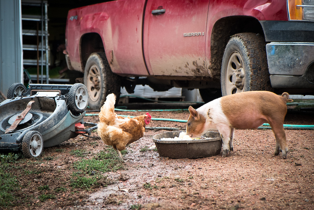A Buff Orpington Chicken and a Mule Footed Pig at EZ Rocking Ranch | August 23, 2014