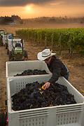 Robert Schultz, Vineyard manager at Stoller Family Estate, picking leaves & debris from bins of freshly harvested Pinot Noir grapes, Dundee Hills AVA, Willamette Valley, Oregon