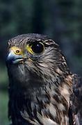 Merlin Falcon, Falcon, Denali National Park, Merlin Falcon Chick, Chick, Bird Chick, Nest, bird nest, Alaska